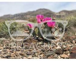 Desert Bloom Series