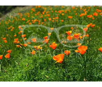 Poppin Poppies - Download